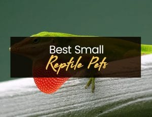 Best Small Reptile Pets