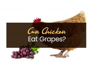 Can chicken eat Grapes