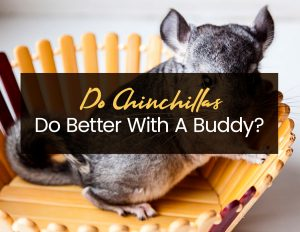 Do Chinchillas Do Better With A Buddy