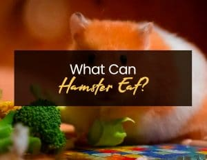 What Can Hamster Eat