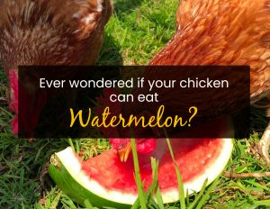 Ever wondered if your chickens can eat watermelon
