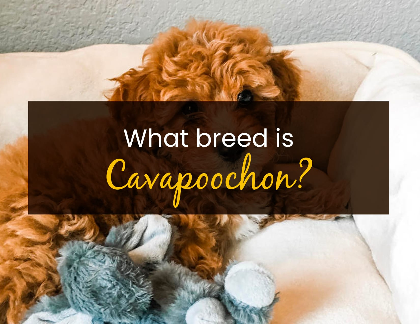 What breed is Cavapoochon