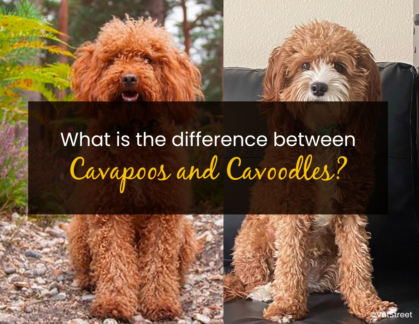 Cavapoos and Cavoodles