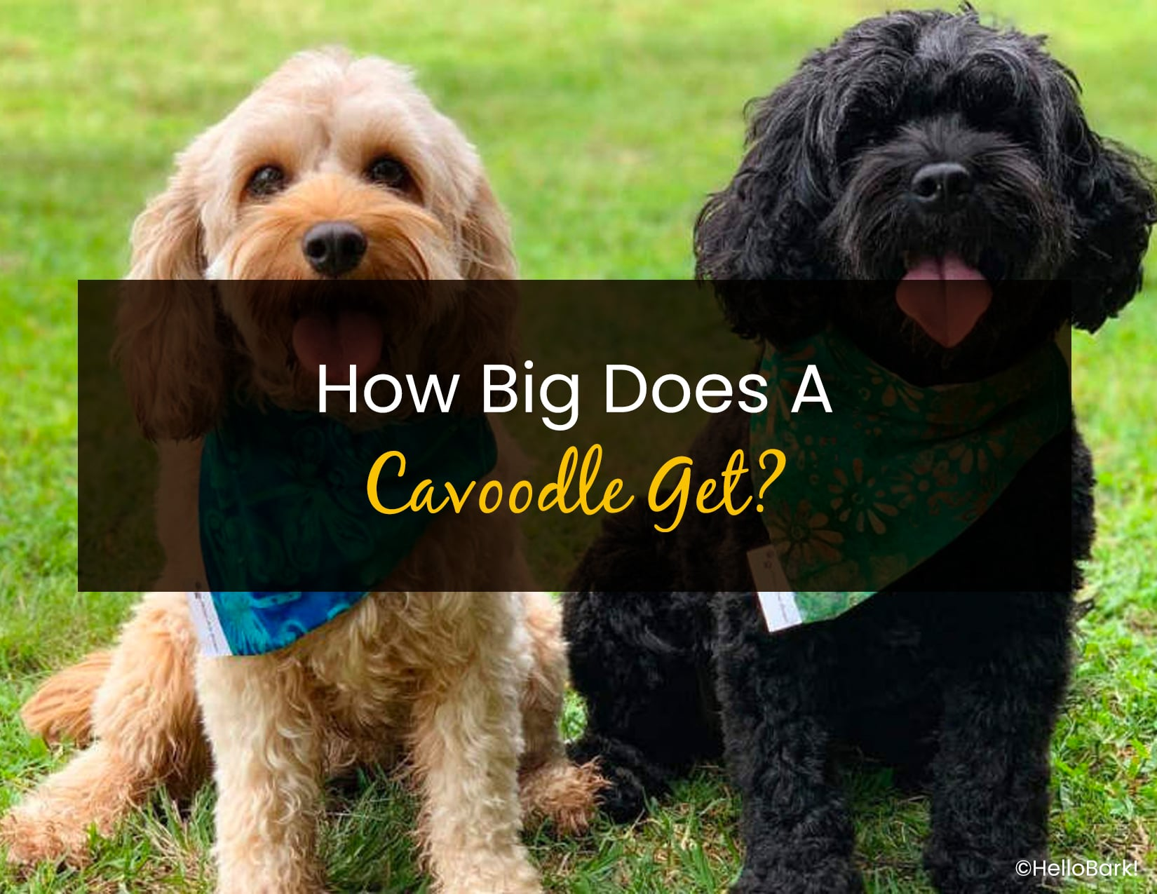 How Big Does A Cavoodle Get