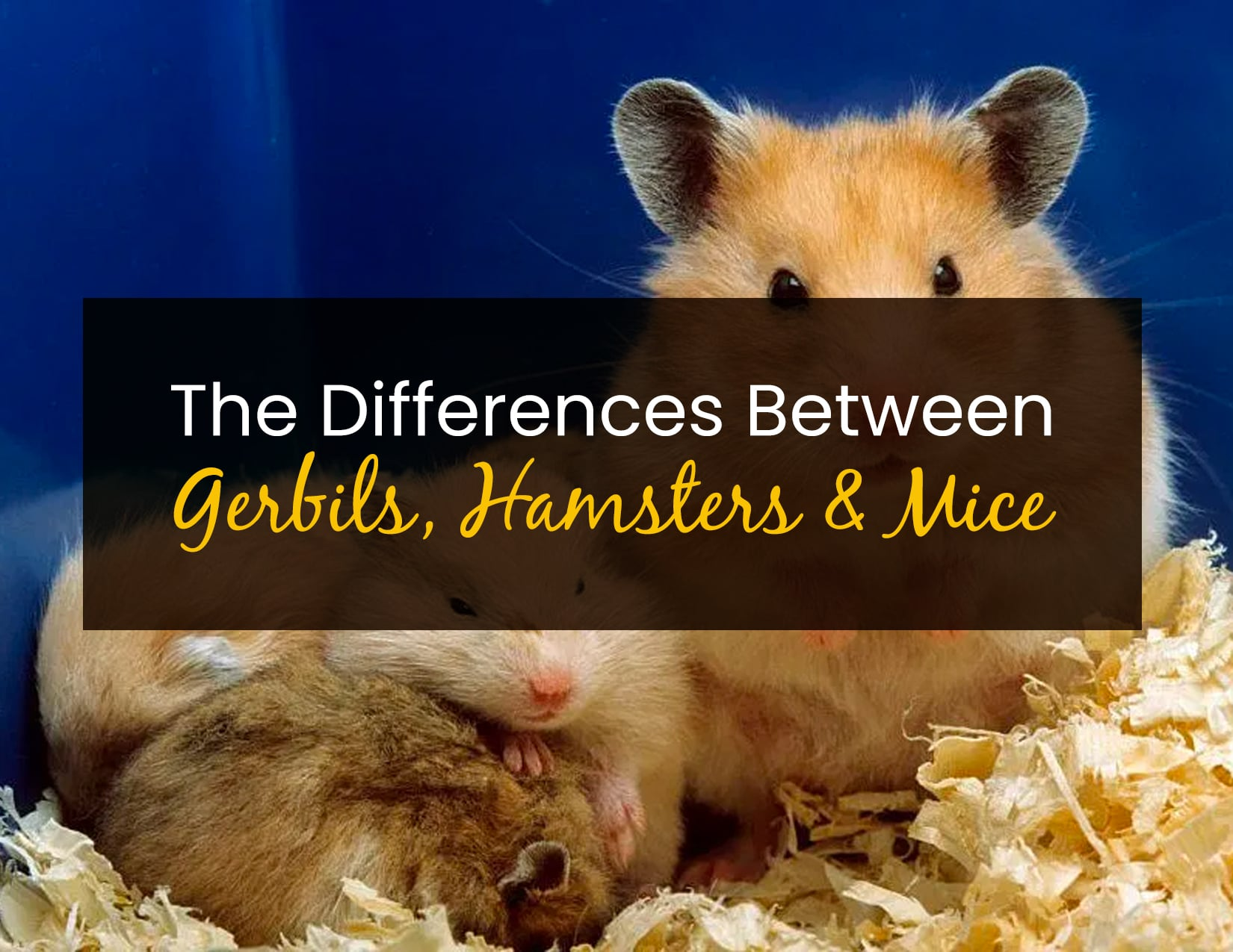 The Differences Between Gerbils, Hamsters & Mice