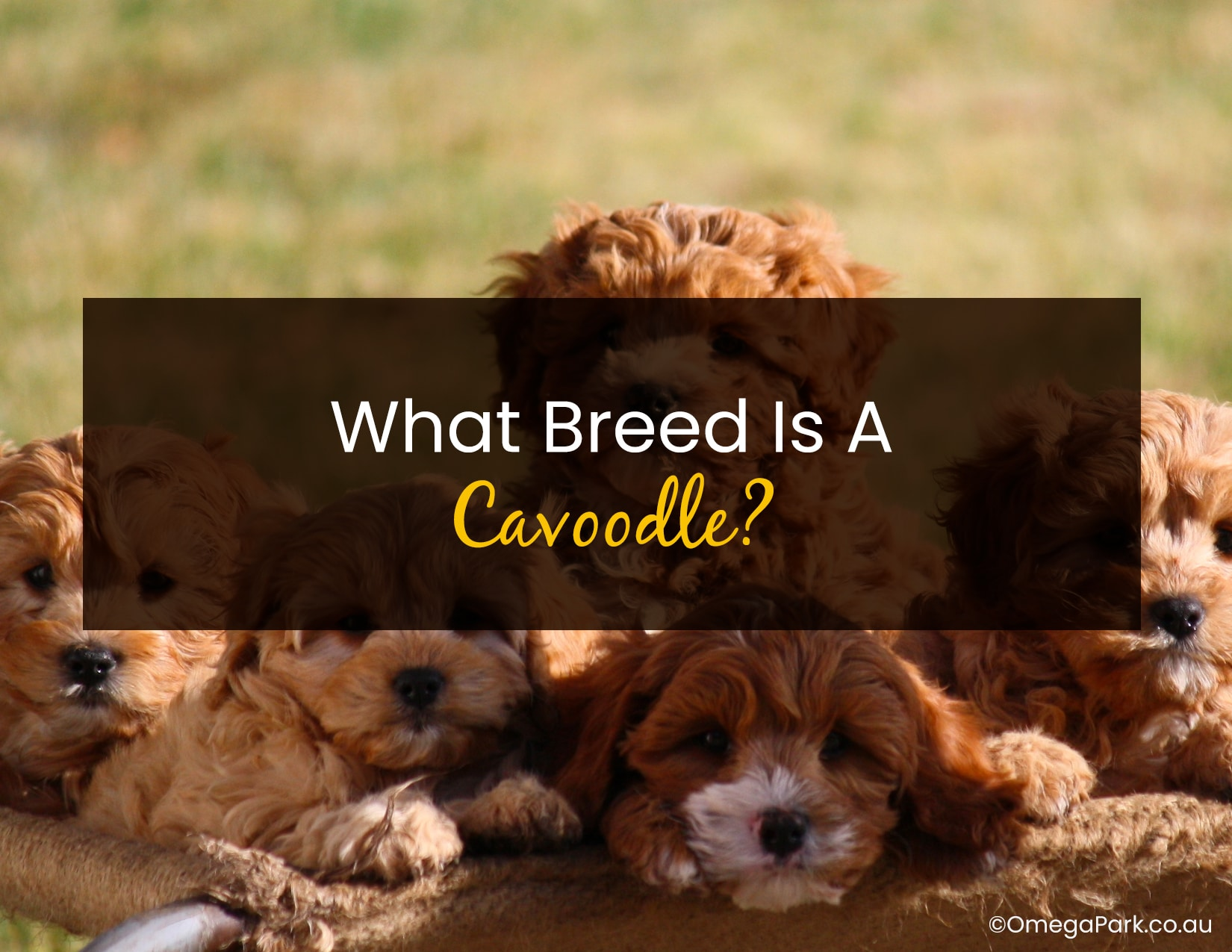 What Breed is a Cavoodle
