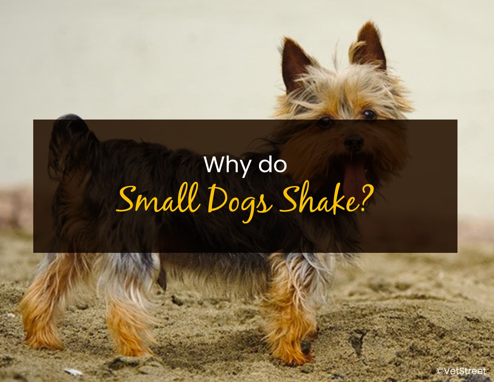 Why Do Small Dogs Shake