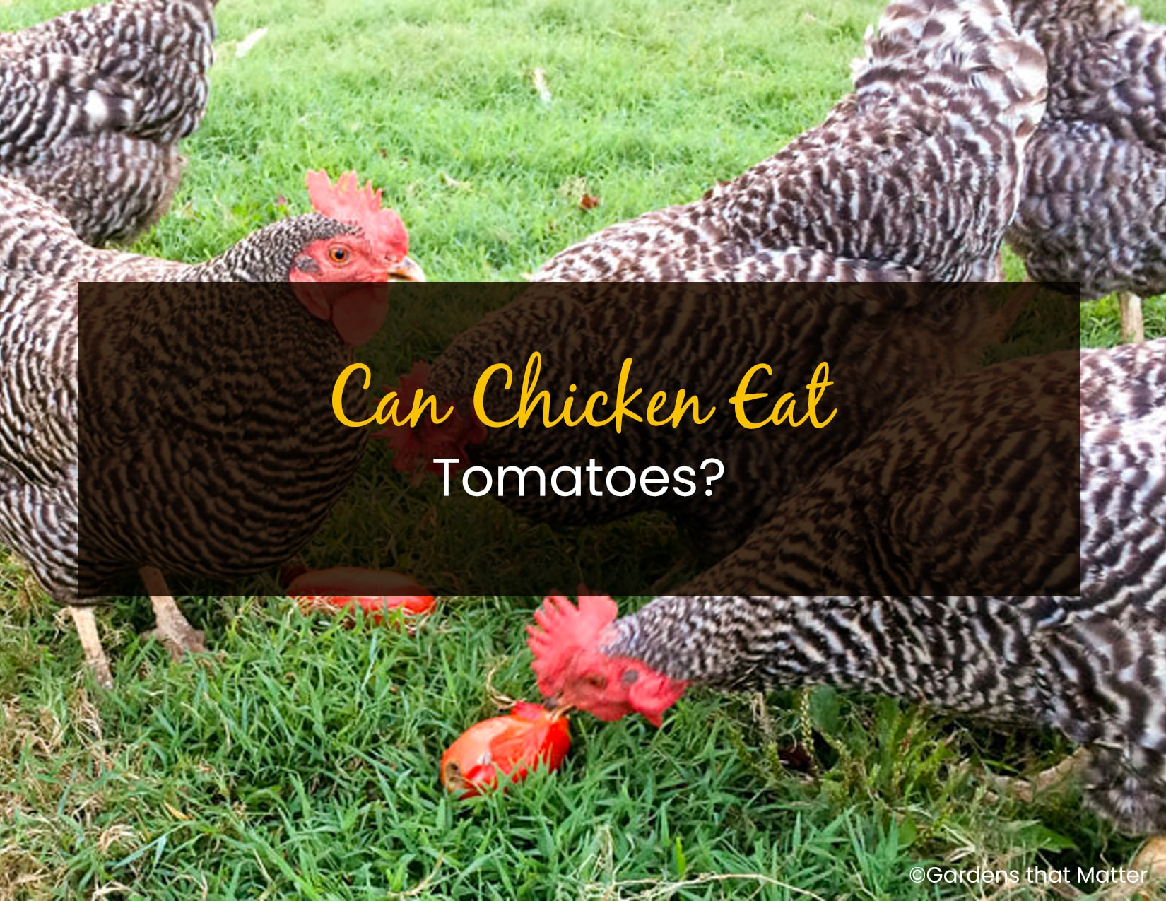 can Chicken Eat Tomato