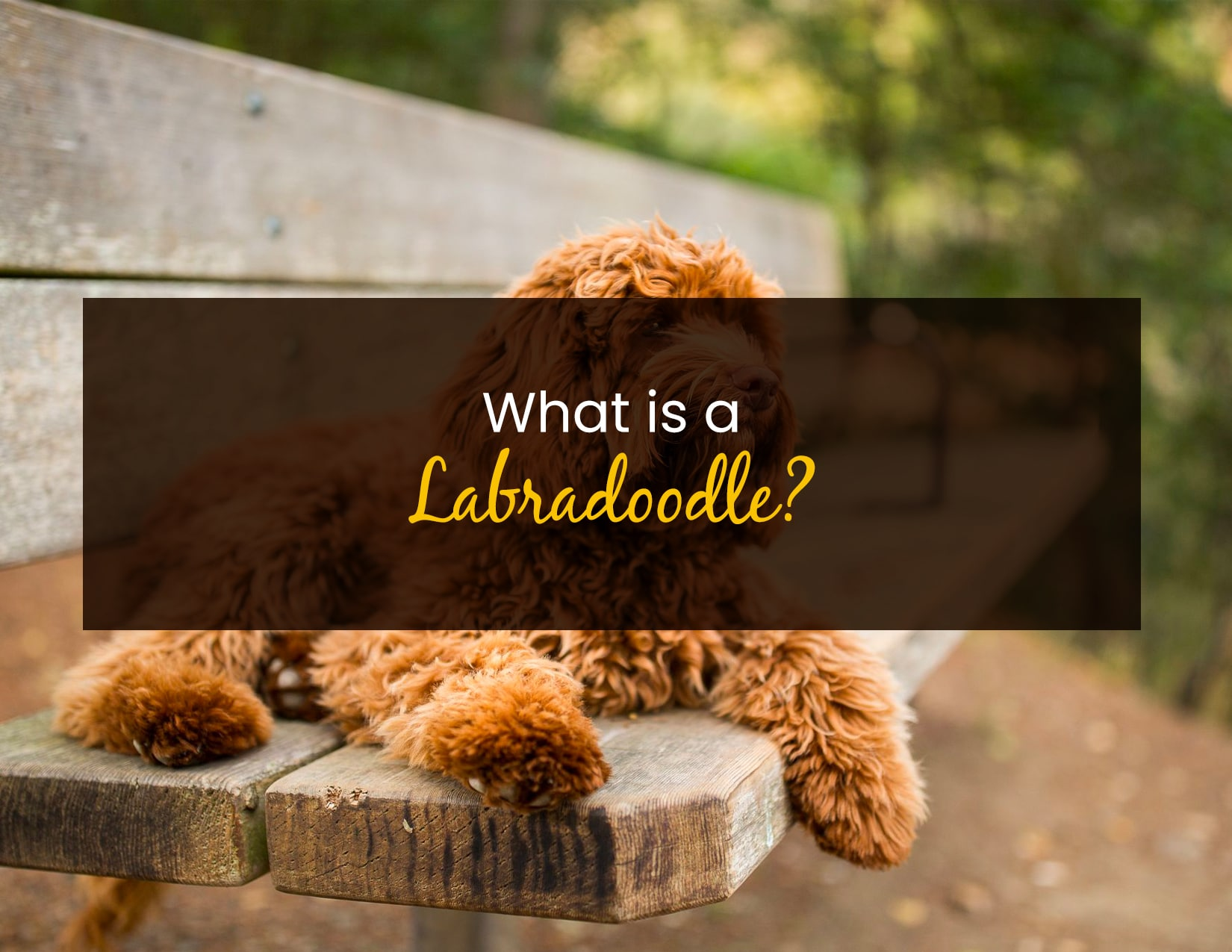 What is a Labradoodle