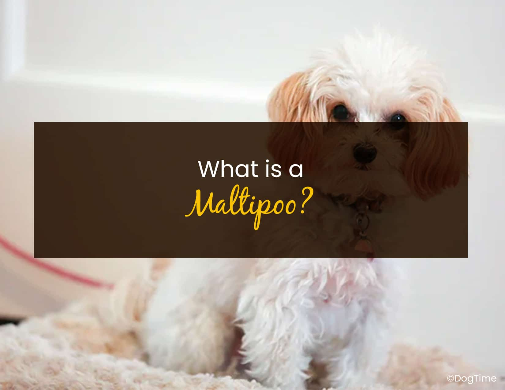 What is a Maltipoo