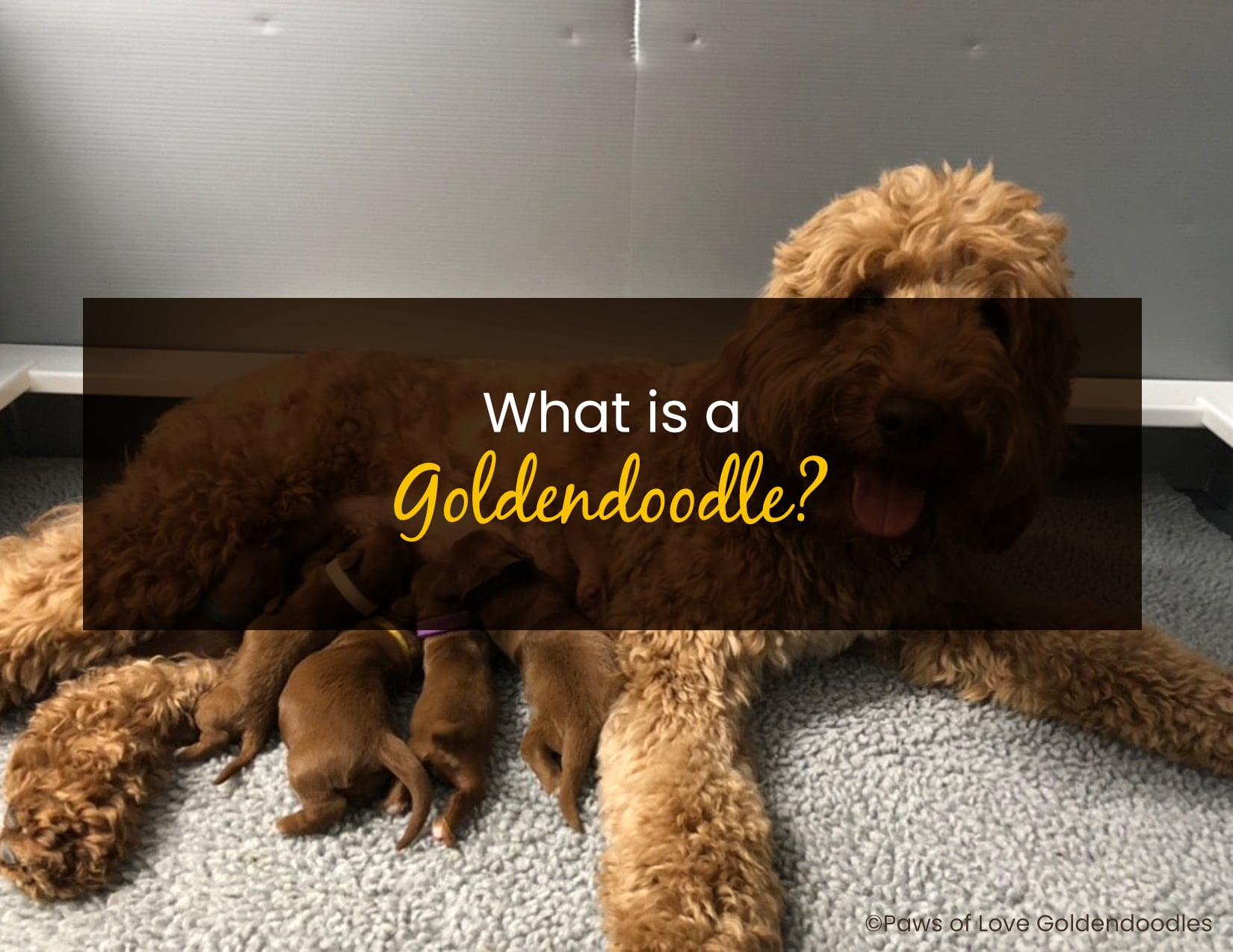 What is a goldendoodle - WP