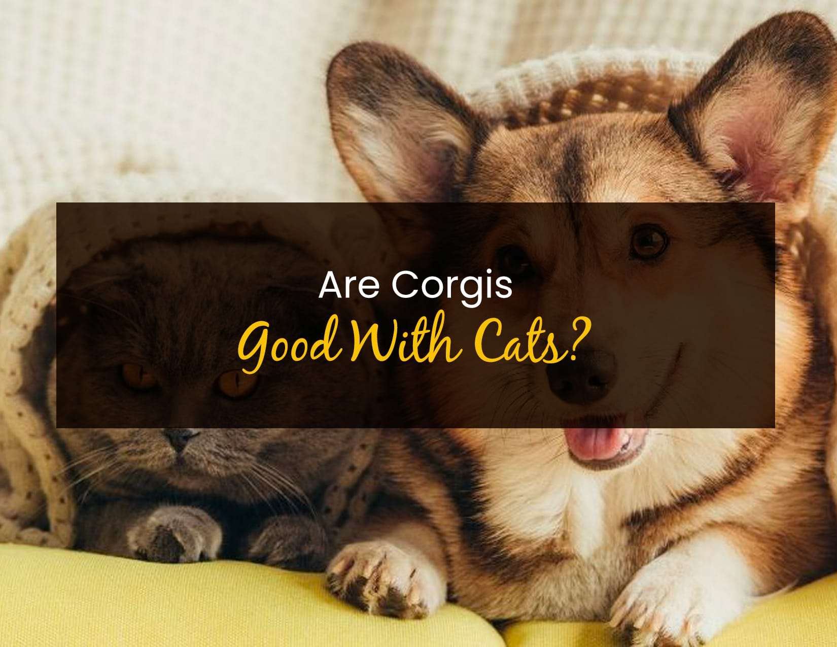 Are Corgis Good with Cats - WP