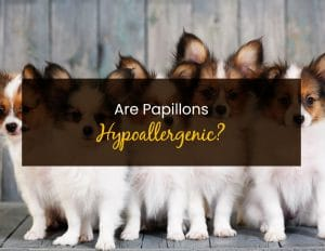 Are Papillons Hypoallergenic - WP