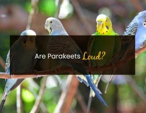 Are Parakeets Loud - WP