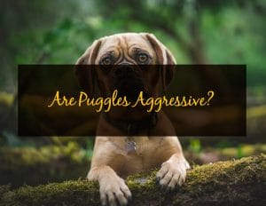 Are Puggles Aggressive - WP