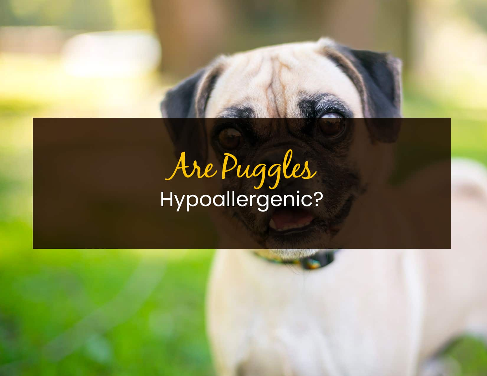 Are Puggles Hypoallergenic - WP