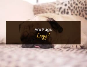 Are Pugs Lazy - WP