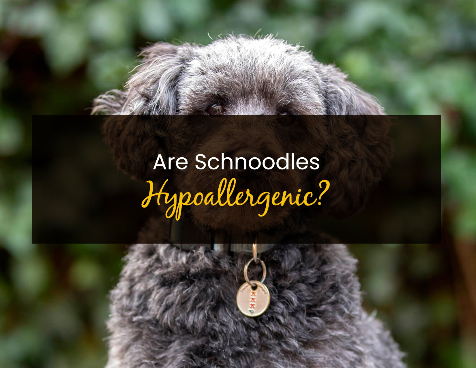 Are Schnoodles Hypoallergenic - WP