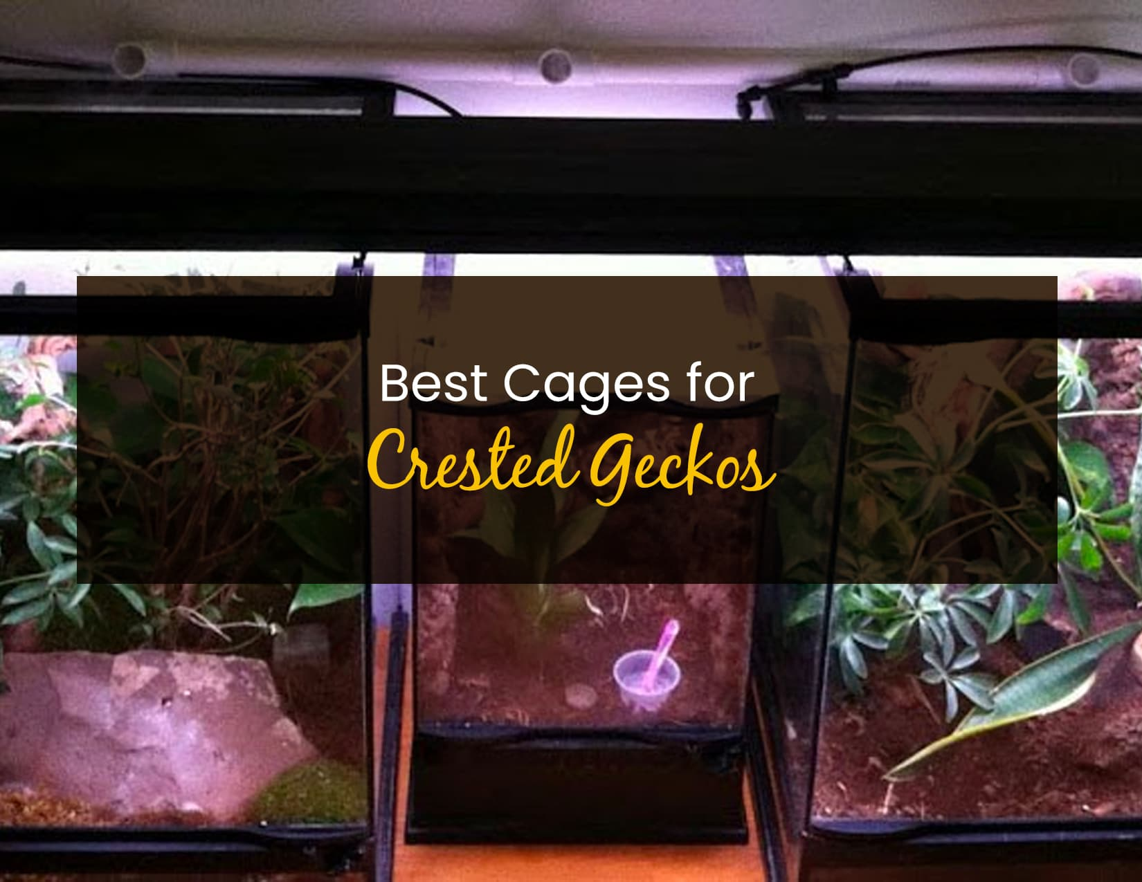 Best Cages for Crested Geckos - WP