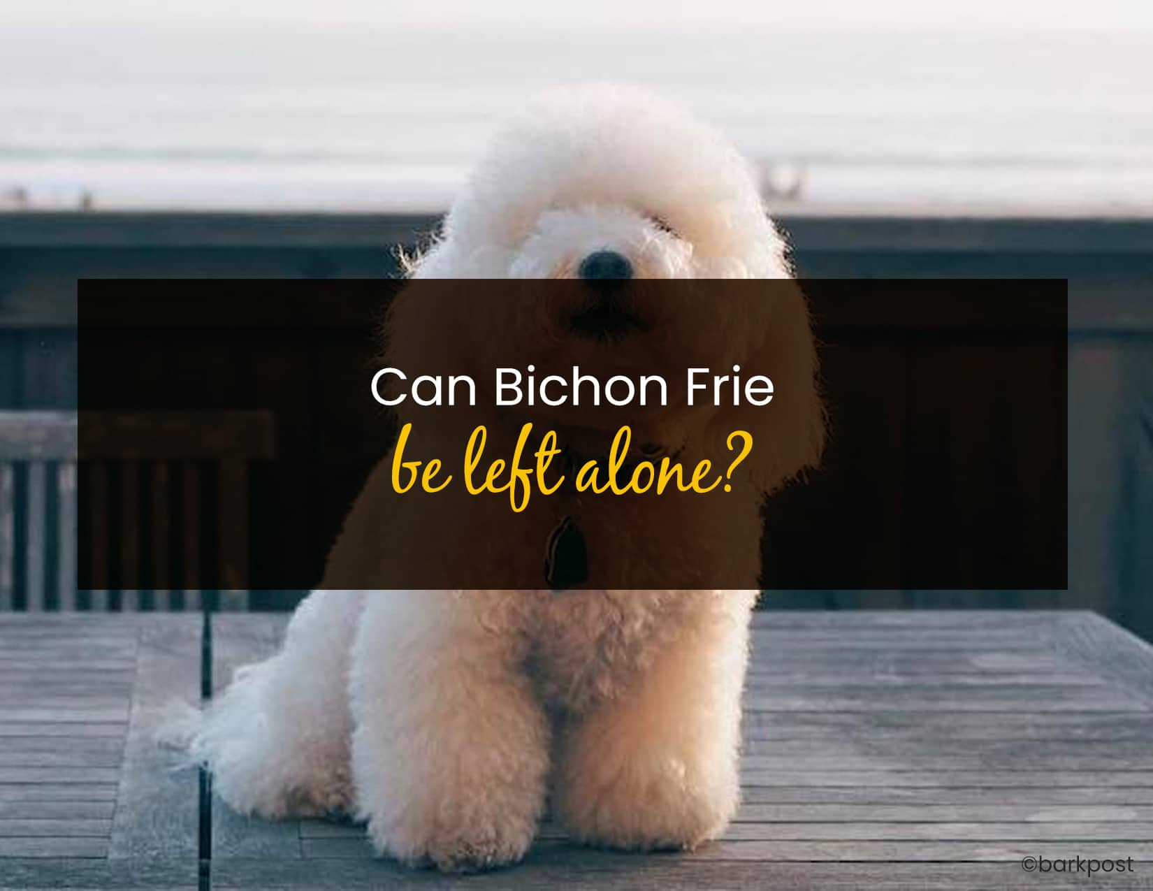 Can Bichon Frise Be Left Alone - WP