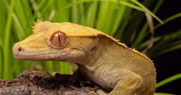 Crested Gecko2