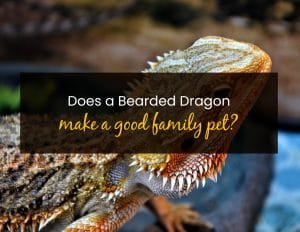 Does a Bearded Dragon Make a Good Family Pet - WP
