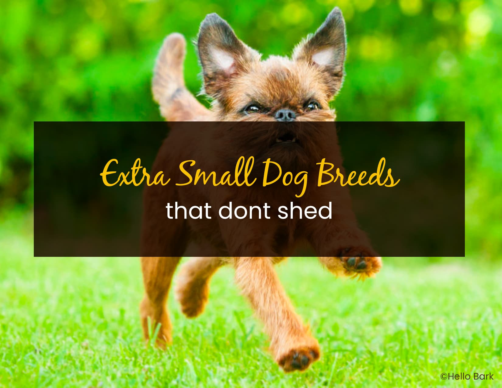 Extra Small Dog Breeds That Dont Shed - WP