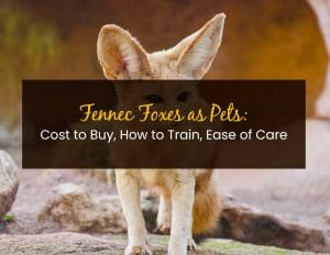 Fennec Foxes as Pets - WP
