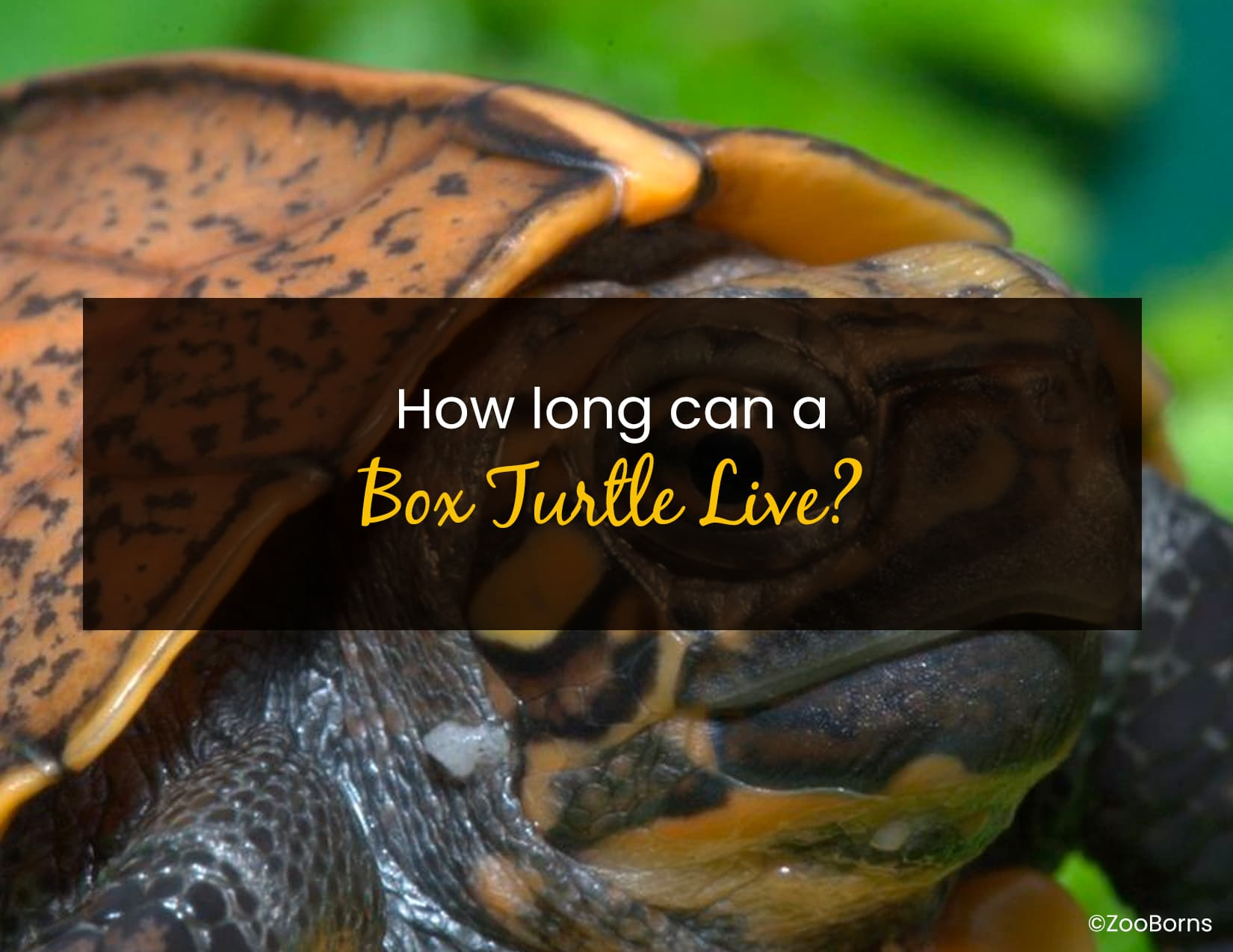 How Long Can A Box Turtle Live - WP