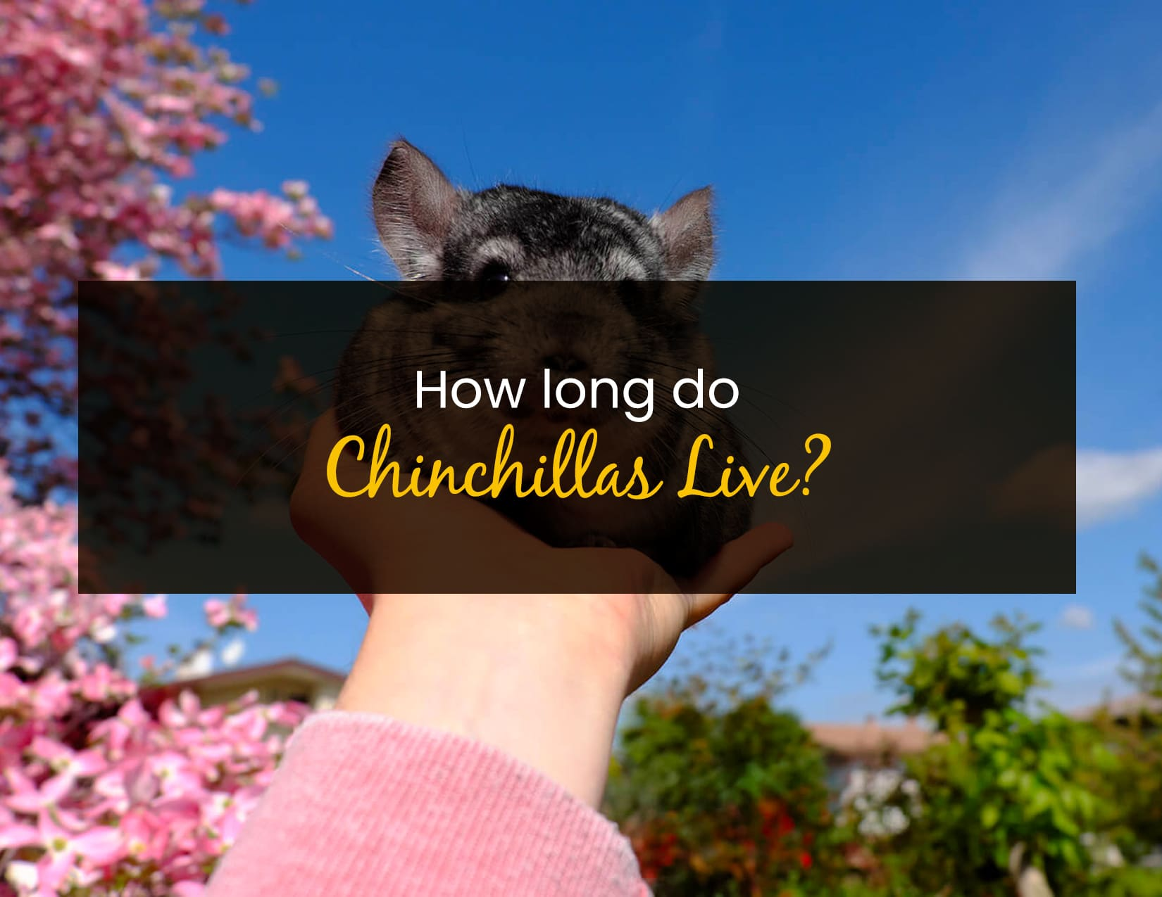 How Long Do Chinchillas Live - WP