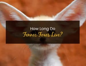 How Long Do Fennec Foxes Live - WP