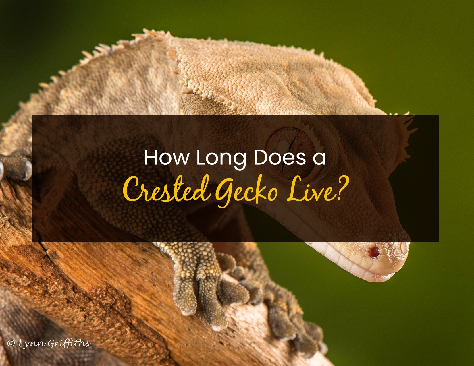 How Long Does A Crested Gecko Live - WP