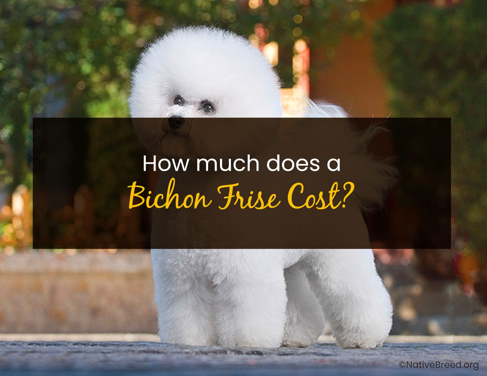 How Much Does A Bichon Frise Cost - WP