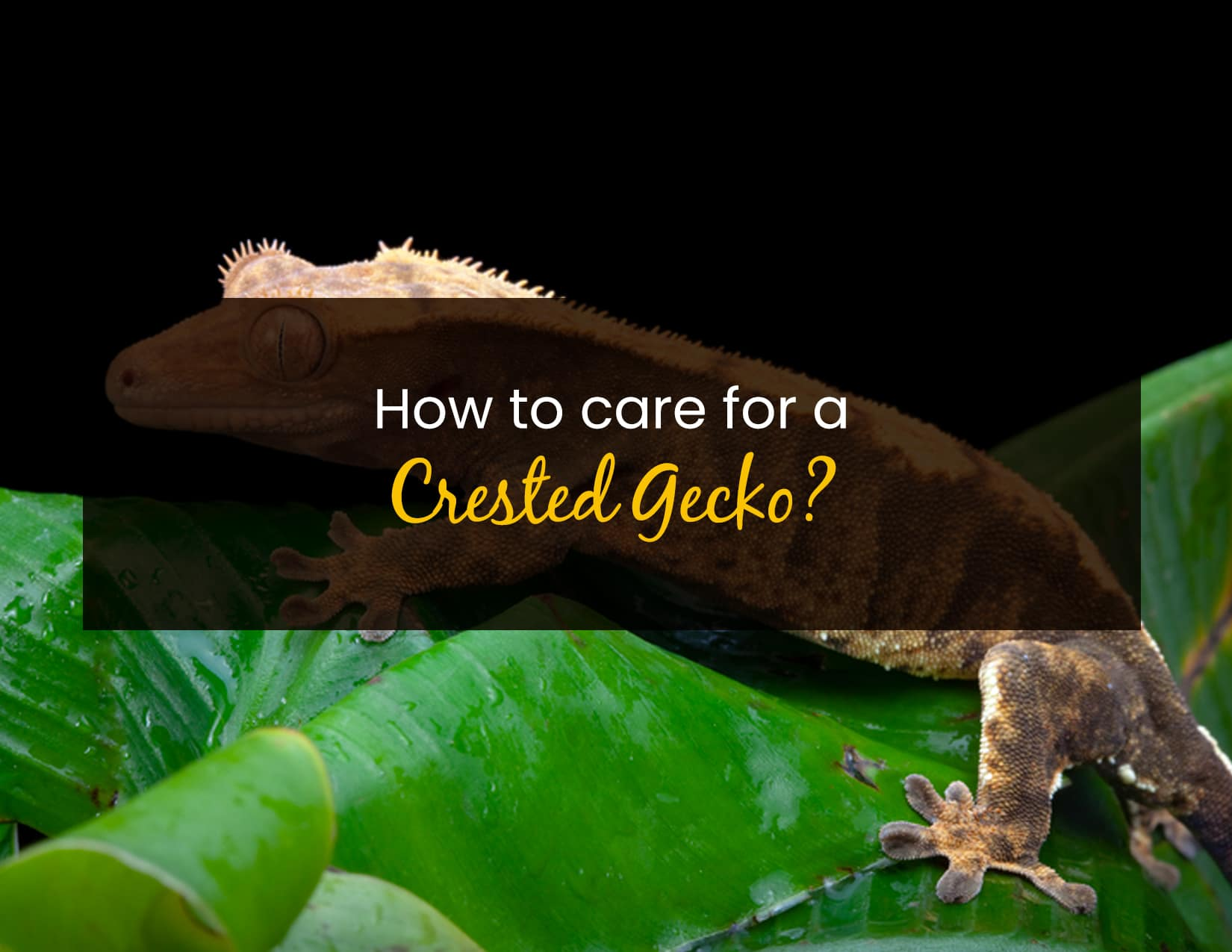 How to care for a crested gecko - WP