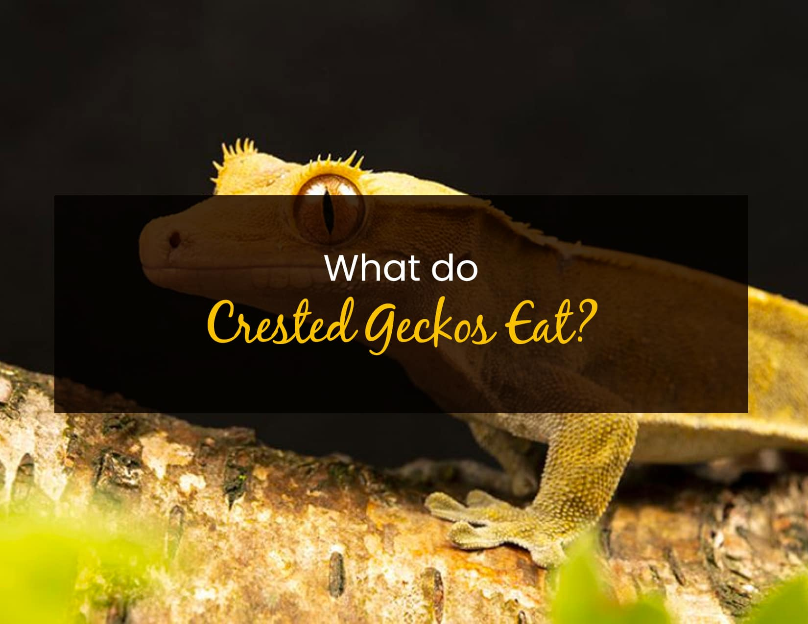 What do crested geckos eat - WP