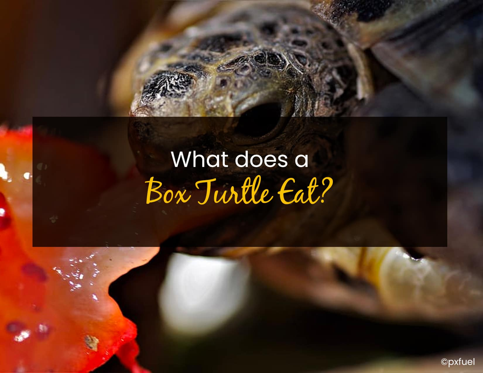 What does a box turtle eat - WP