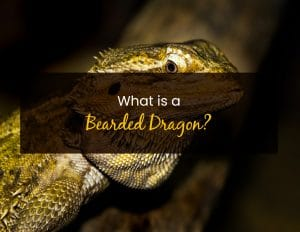 What is a bearded dragon - WP