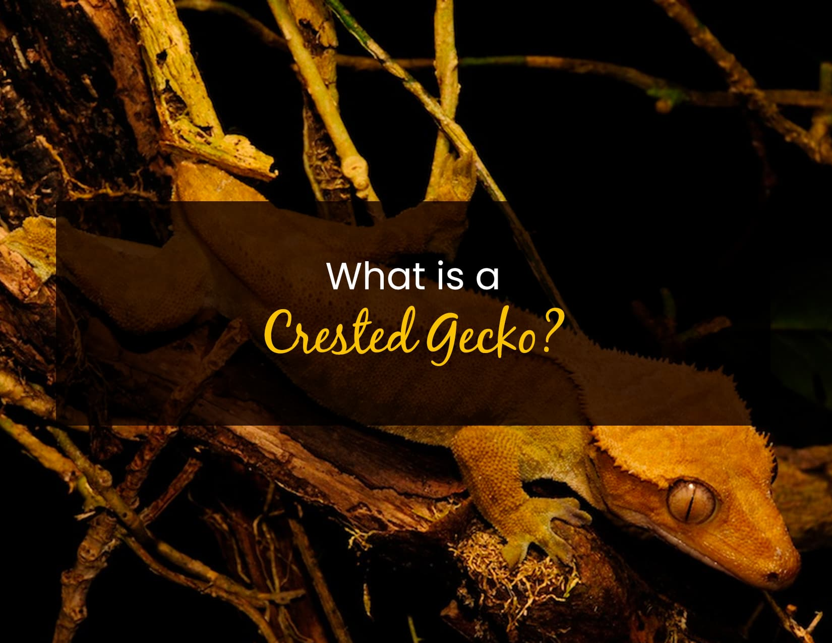 What is a crested gecko - WP