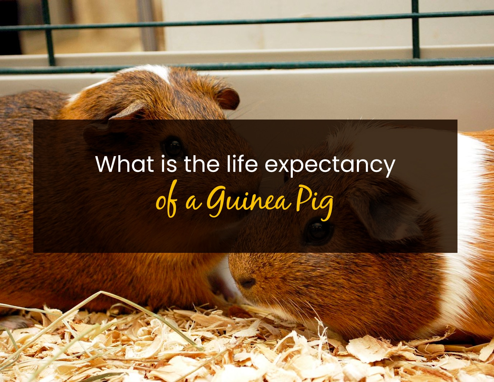 What is the life expectancy of a guinea pig - WP