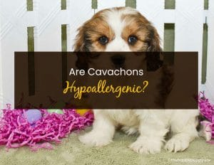 Are Cavachons Hypoallergenic - WP