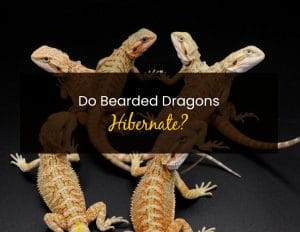 Do Bearded Dragons Hibernate - WP