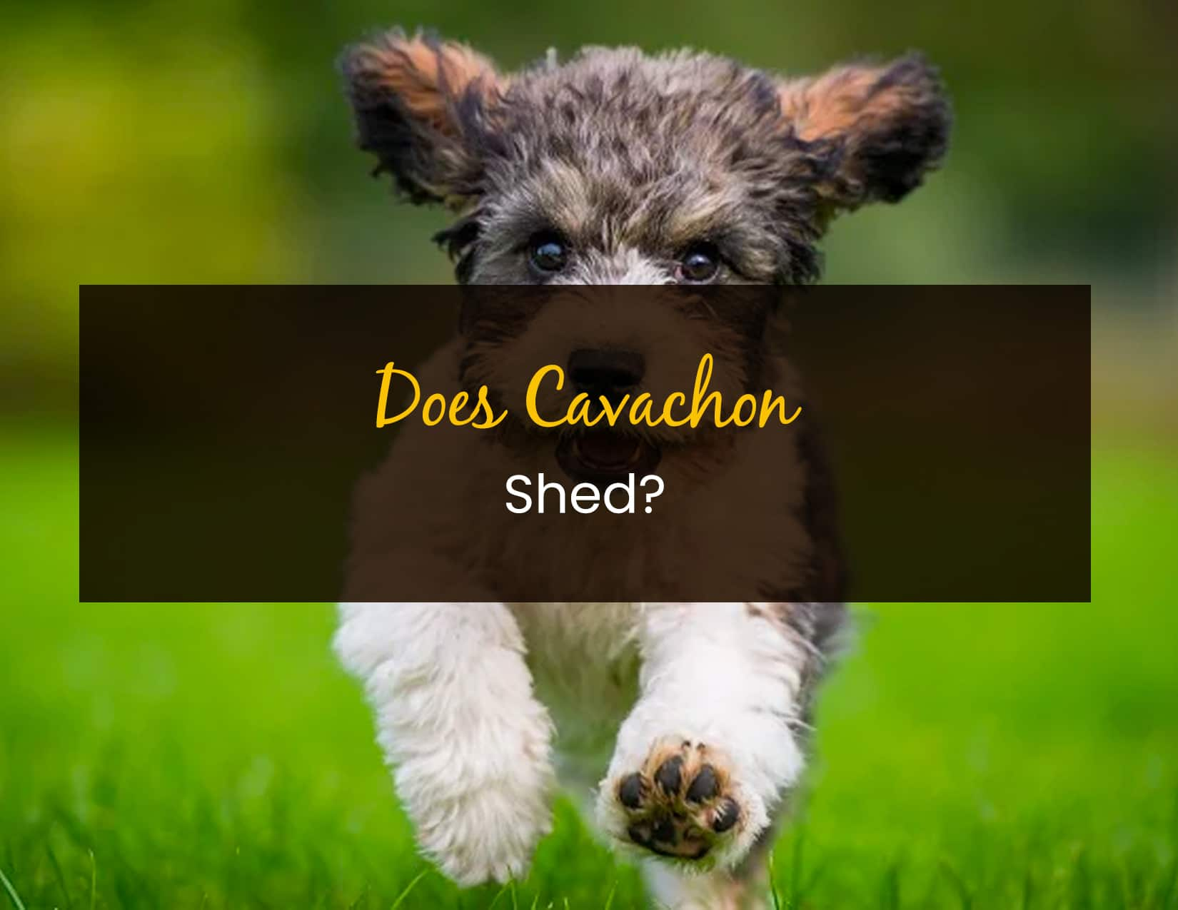 Does Cavachon Shed - WP