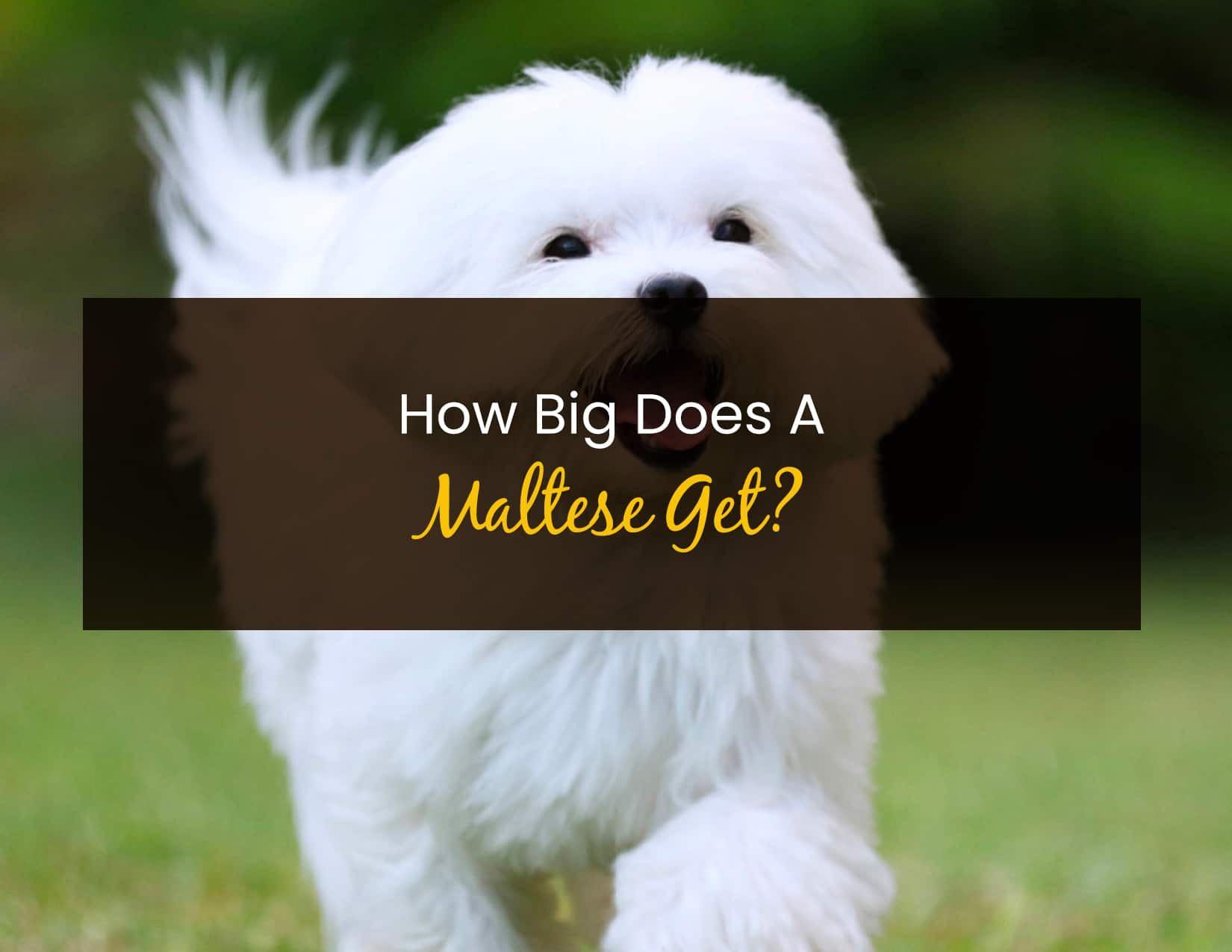 How Big Does A Maltese Get - WP