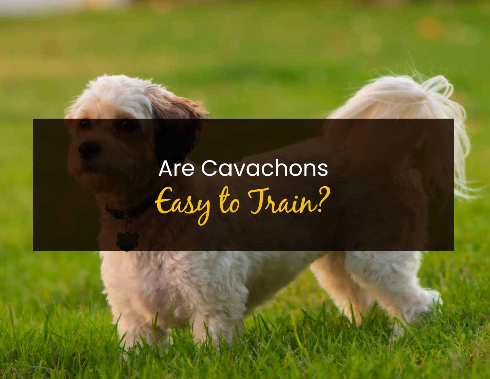 Are Cavachons Easy To Train - WP