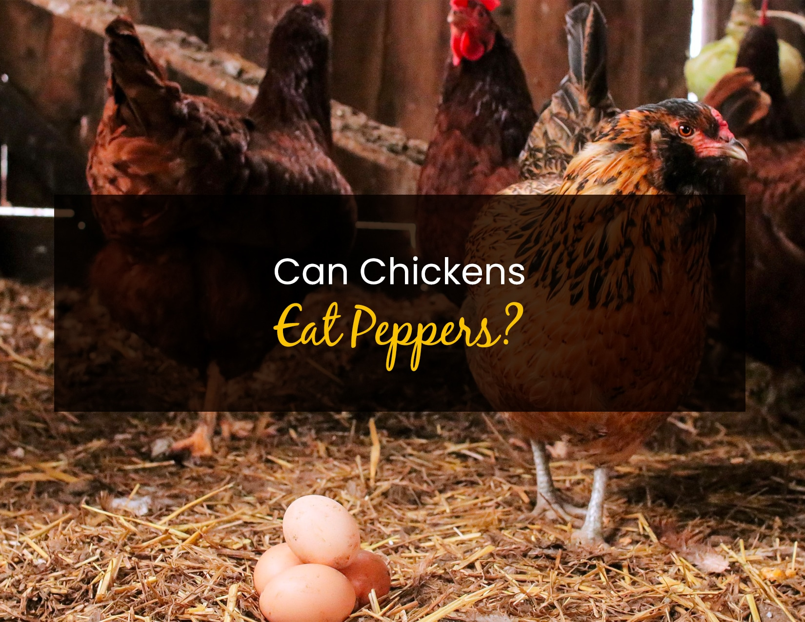 Can Chickens Eat Peppers - WP