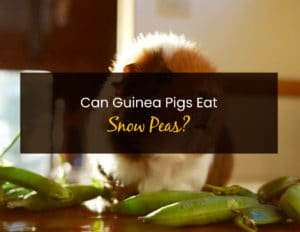 Can Guinea Pigs Eat Snow Peas - WP