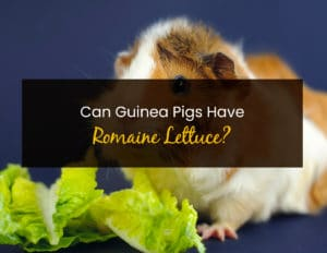 Can Guinea Pigs Have Romaine Lettuce - WP