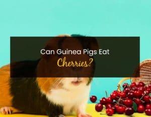 Can Guinea pigs eat cherries - WP