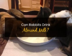 Can Rabbits Drink Almond Milk - WP