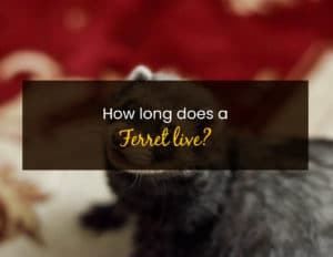 How long does a ferret live - WP